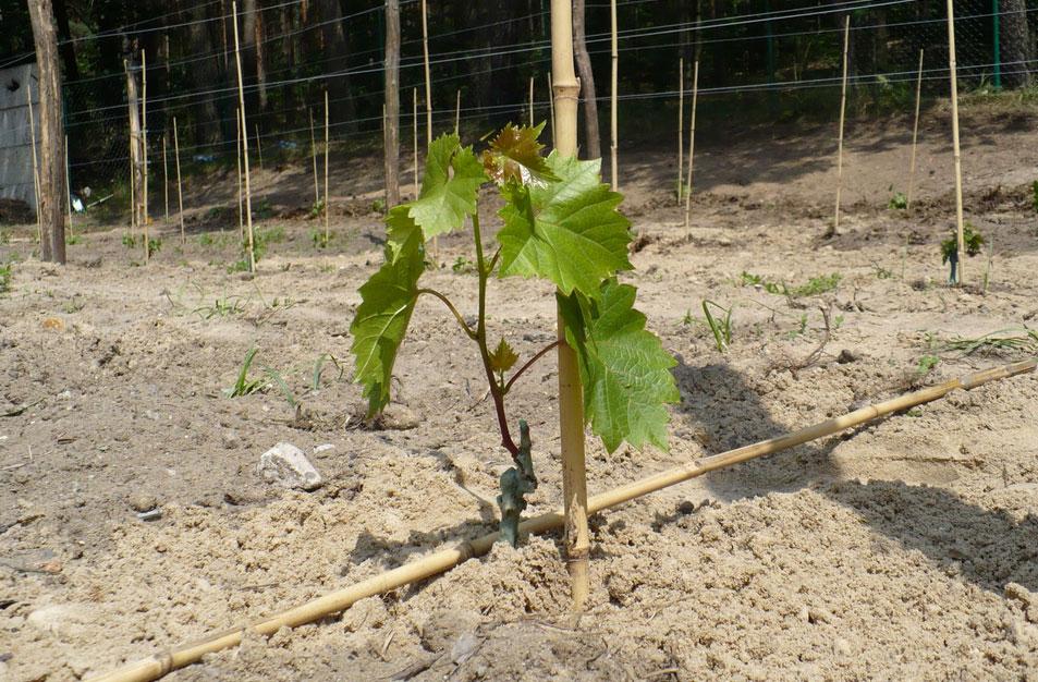Картинки по запросу виноград саженцами