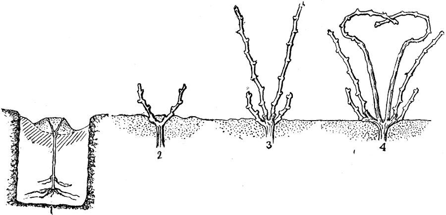 Выращивание винограда 1 год 34