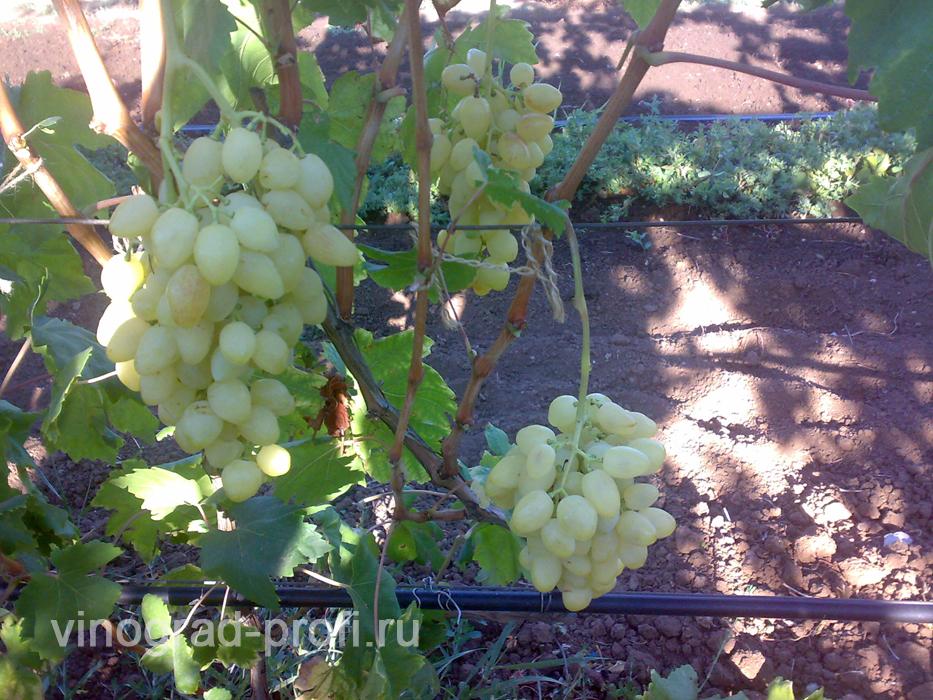 Сорт винограда Кишмиш лучистый: фото, отзывы, описание