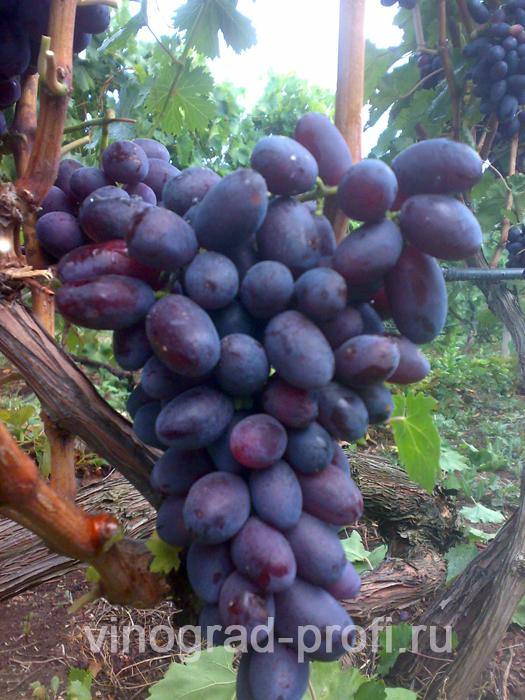Виноград сорт инга фото и описание