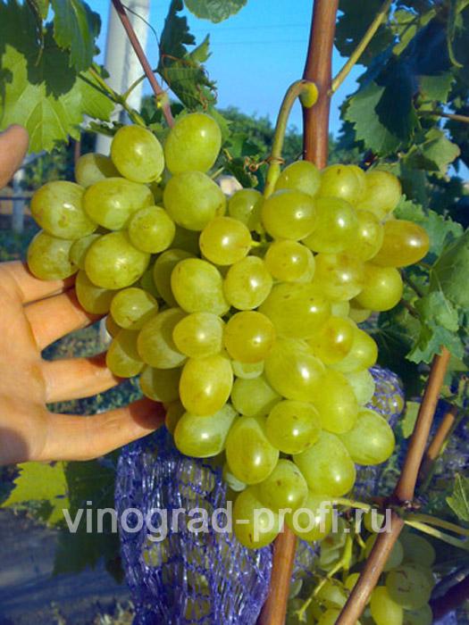 Виноград сорт новый подарок 757