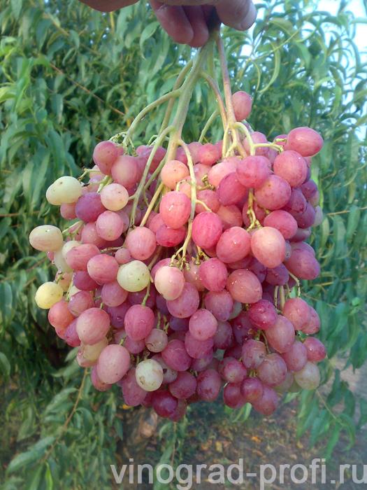 Сорт винограда кишмиш розовый фото и описание